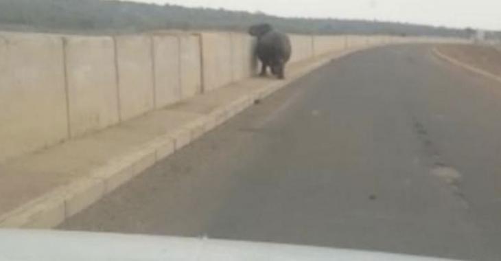 Un hippopotame fonce directement sur son véhicule alors qu'il se trouvait sur un pont