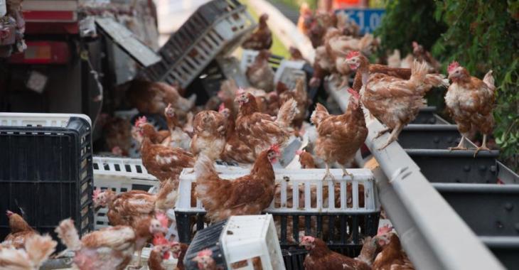 Insolite: des milliers de poules bloquent une autoroute!