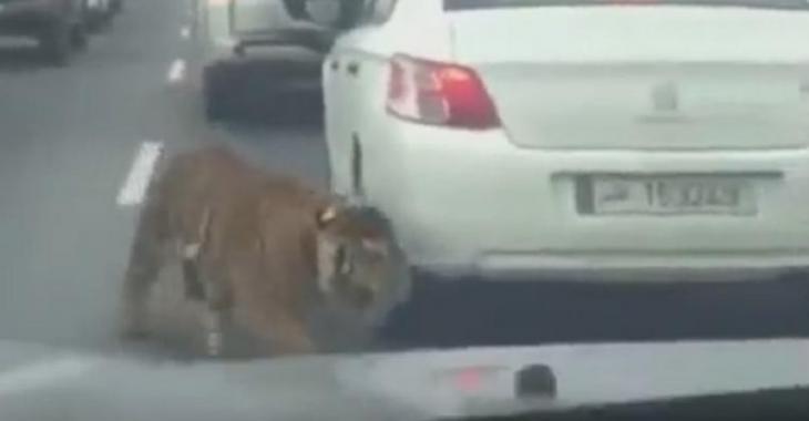 Un tigre saute de son véhicule et se promène dans le trafic!
